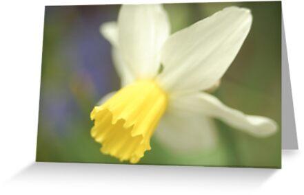 Daffodil by Matthew Folley