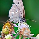 Ringlet Butterfly by Vicki Field