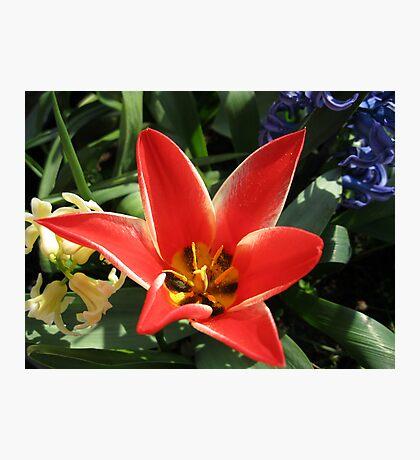 Virbrant Red Tulip and Hyacinths Fotodruck