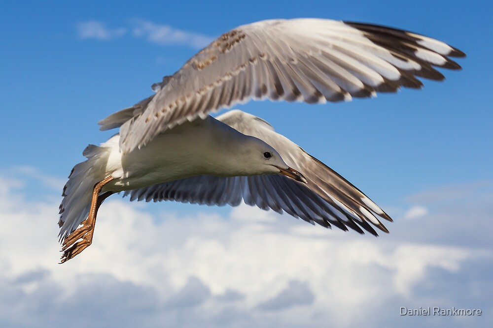 Gull's Flight - Lennox Head by Daniel Rankmore