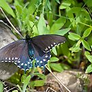 Swallowtail On A Rock by Diego Re