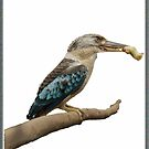 Kookaburra,  Dacelo leachii by JuliaKHarwood
