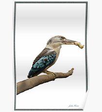 Kookaburra,  Dacelo leachii Poster