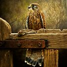 Kestrel and mouse on fence. by Brian Tarr