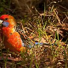 Eastern Rosella by smylie