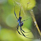 Blue spider, South Africa by Karen01
