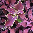 Colorful Coleus by WalnutHill