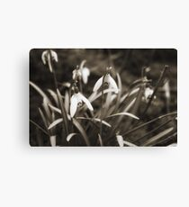 Snowdrops in Sepia Canvas Print