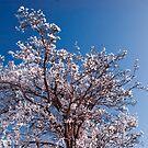 Winter Blossom by Vicki Field