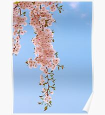 Cherry flowers and blue sky. Poster