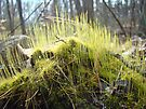 Sunlight in My Hair - Fruiting Moss by MotherNature