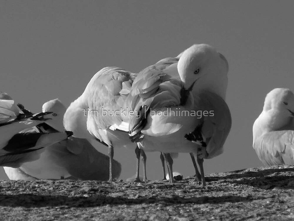 seagulls. bicheno, tasmania by tim buckley   bodhiimages
