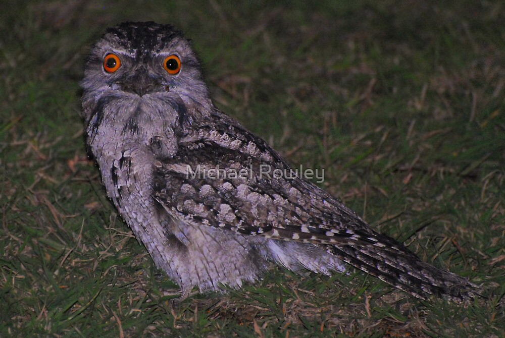 Tawny Frogmouth  by Michael Rowley