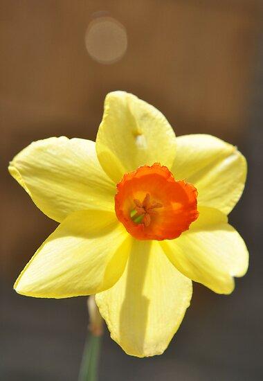 Daffodil  by rhian mountjoy