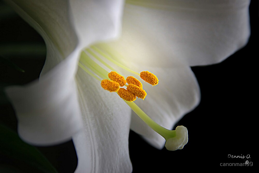 """""""Lily White """" by canonman99"""