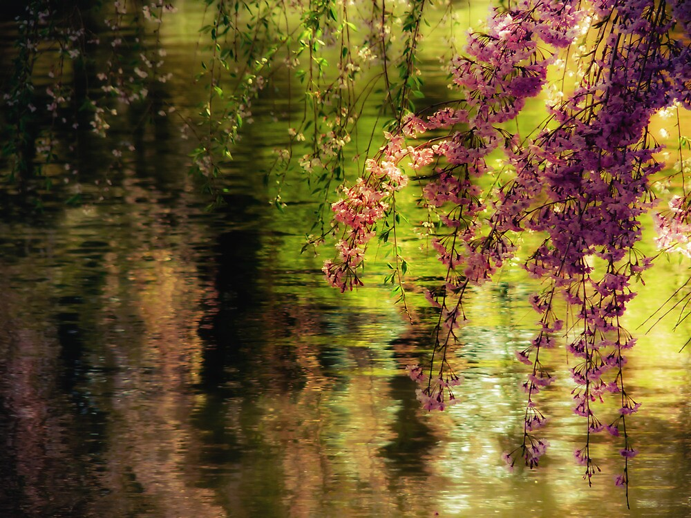 Echoes of Monet - Cherry Blossoms - Brooklyn Botanic Garden by Vivienne Gucwa