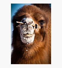 Bactrial camel Photographic Print