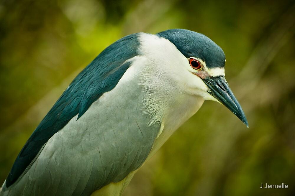 Black Crown Night Heron Stare by Joe Jennelle