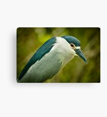 Black Crown Night Heron Stare Canvas Print