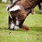 Goat by Ray Clarke