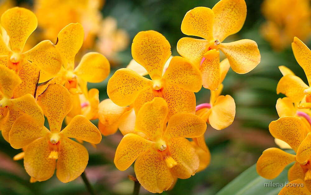 yellow orchid by milena boeva
