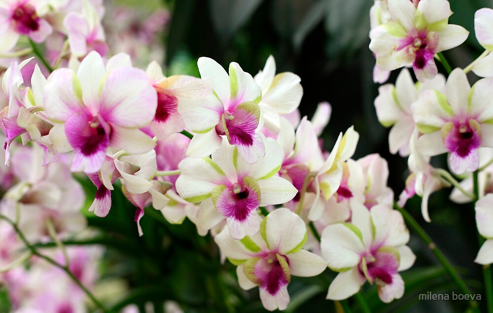 orchids in singapore by milena boeva