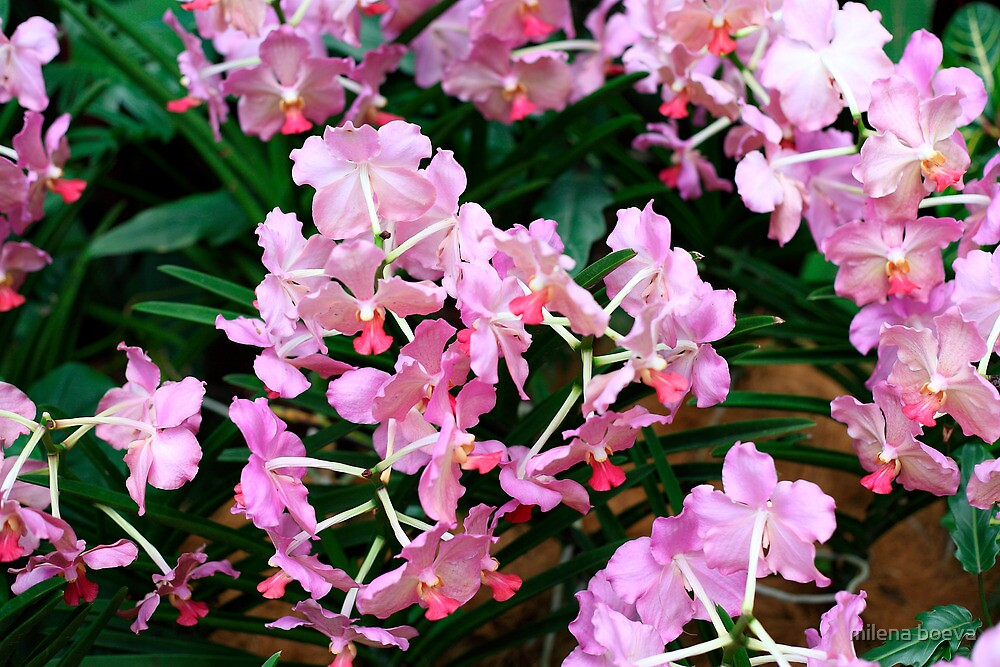 bunch of orchids by milena boeva