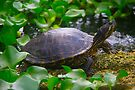 Painted Turtle by ValeriesGallery