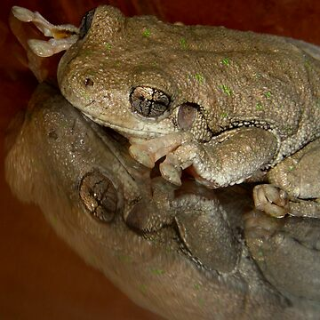 Peron's Tree Frog  ( Litoria Peroni ) by Bot2