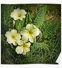 Spring Primrose Poster