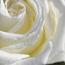 White Rose by TheaShutterbug