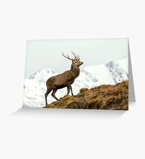 Red Deer Stag in Winter Greeting Card