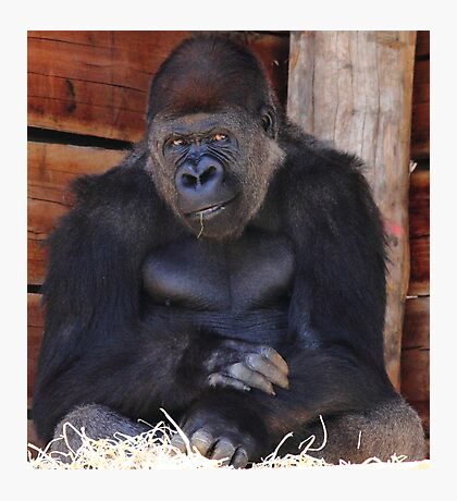 """Gorilla - Air Of Satisfaction""  Photographic Print"