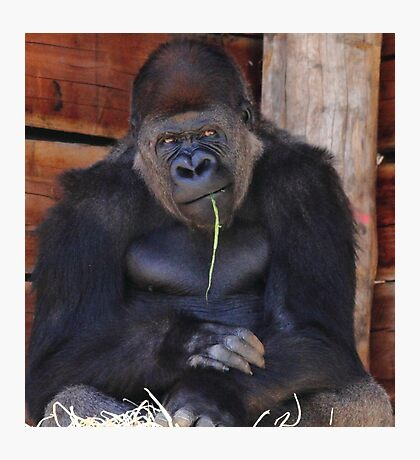 """Gorilla - So You Want Another Picture?"" Photographic Print"