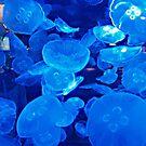Jellies by Steve Hunter
