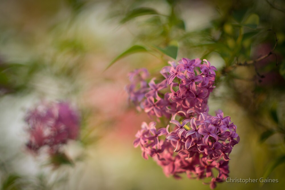 Pink Cluster by Christopher Gaines