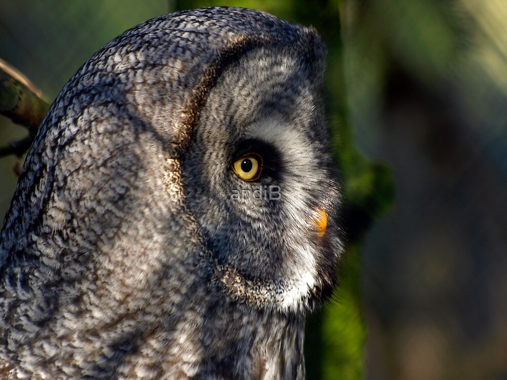 Great grey Owl ( Strix nebulosa) by Andreas  Berheide