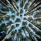 Evergreens All the Way Up by Veronica Schultz