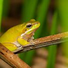 Dwarf Tree Frog - Litoria fallax by Andrew Trevor-Jones