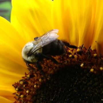 Bee and Sunflower by anadelis