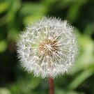Dandelion Close-up  by Jackson  McCarthy