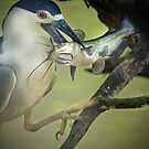 Black Capped Night Heron Catches Catfish by TJ Baccari Photography