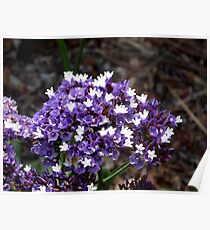 Sea Lavender / Limonium - Royal Botanic Gardens Melbourne Poster