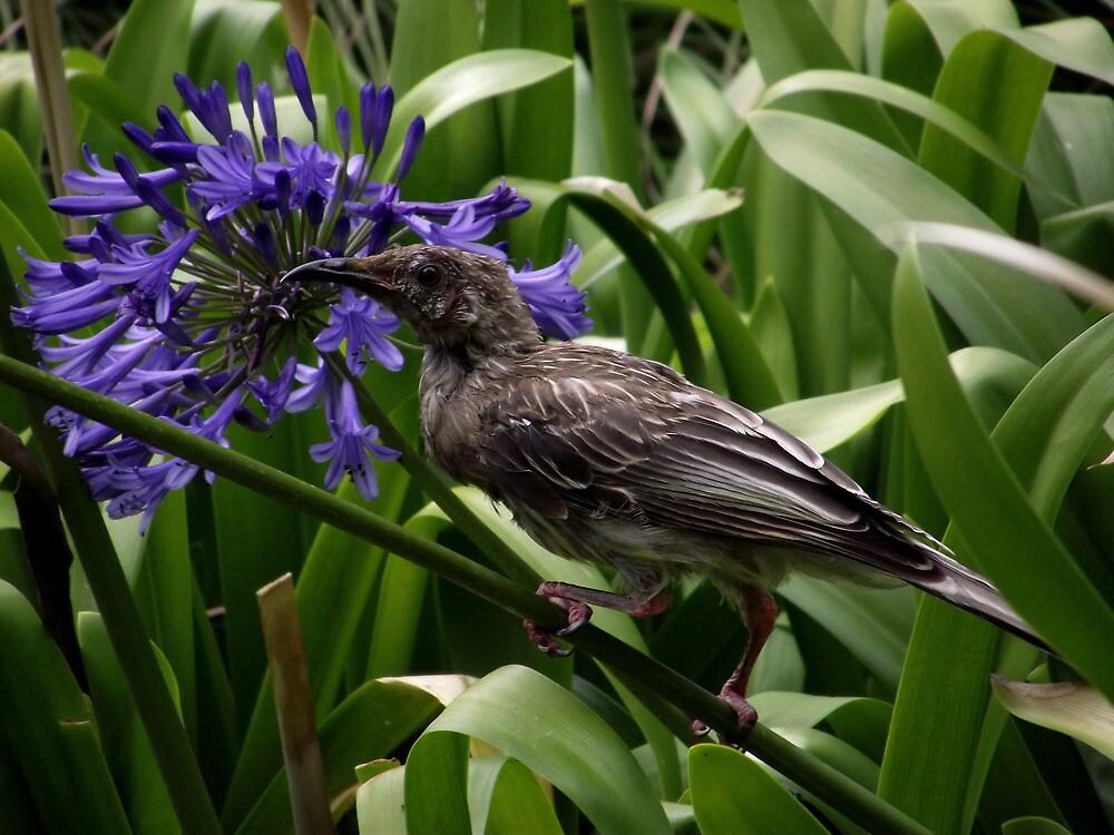 Honeyeater - Fitzroy Gardens Melbourne by SophiaDeLuna