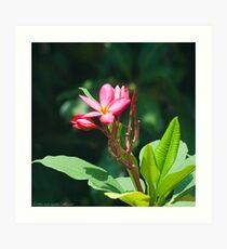 Blooming Plumeria Art Print
