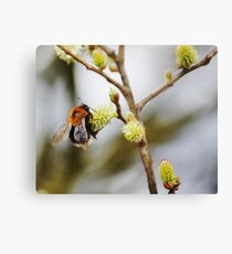 Bumblebee collects nectar Canvas Print