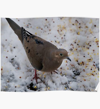 Mourning Dove Eating Poster