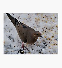 Mourning Dove Eating Photographic Print