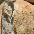 Round-tailed Ground Squirrel ~ Mommy Alert by Kimberly Chadwick