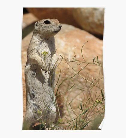 Round-tailed Ground Squirrel ~ Mommy Alert Poster